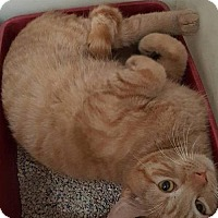 Domestic Shorthair Kitten for adoption in Yucca Valley, California - TONY THE TIGER