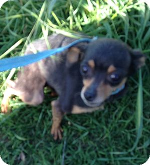 Chihuahua Dog for adoption in Manteca, California - Tia