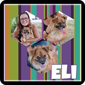 Pomeranian Mix Dog for adoption in THREE RIVERS, Massachusetts - Eli