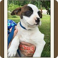 Adopt A Pet :: Chevy POM-DC - Washington, DC