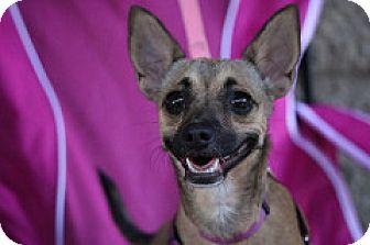 Chihuahua/German Shepherd Dog Mix Dog for adoption in Fountain Valley, California - Gwynn