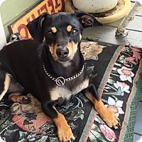 Adopt A Pet :: Shorty - Victoria, TX