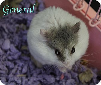 Hamster for adoption in Bradenton, Florida - General