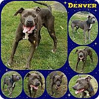 American Pit Bull Terrier Mix Dog for adoption in Joliet, Illinois - Denver