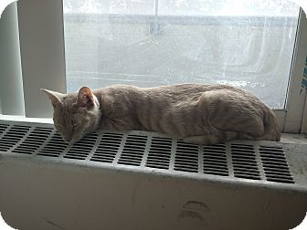 Domestic Shorthair Cat for adoption in Toronto, Ontario - Nugget