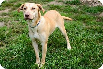Labrador Retriever Mix Dog for adoption in Batavia, Ohio - Ida