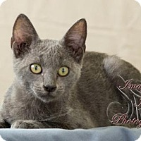 Russian Blue Cat for adoption in Crescent, Oklahoma - Titan