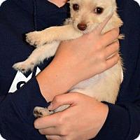 Adopt A Pet :: Sierra Bella - Arlington, WA