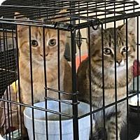 Domestic Shorthair Kitten for adoption in Remus, Michigan - Mango and Muldoon Feline