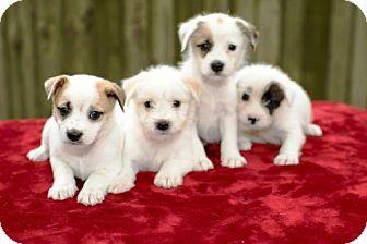 Jack Russell Terrier/Standard Schnauzer Mix Puppy for adoption in Alvin, Texas - Gertie's Boys-
