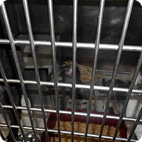Domestic Mediumhair Cat for adoption in Louisville, Kentucky - A598769