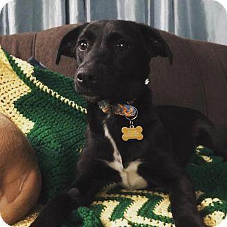 Labrador Retriever Mix Dog for adoption in Racine, Wisconsin - Pallie