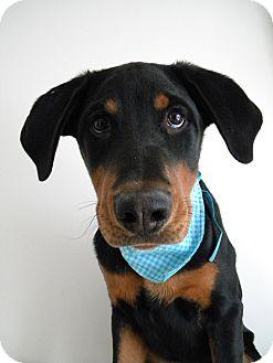 Labrador Retriever/Hound (Unknown Type) Mix Puppy for adoption in Monteregie, Quebec - Parker