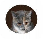 Domestic Shorthair Cat for adoption in Colorado Springs, Colorado - Christy