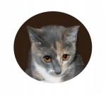 Domestic Shorthair Cat for adoption in Colorado Springs, Colorado - Christy