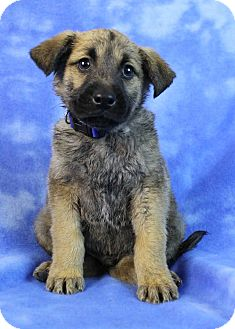 Golden Retriever/Shepherd (Unknown Type) Mix Puppy for adoption in Westminster, Colorado - Crater