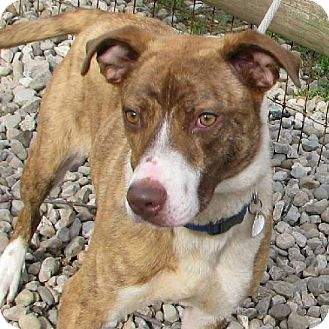 Cattle Dog/Boxer Mix Dog for adoption in Elyria, Ohio - Darcy Prison Dog