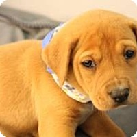 Adopt A Pet :: Puppy #1 - South Jersey, NJ