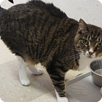 Domestic Shorthair Cat for adoption in Libby, Montana - Snickers