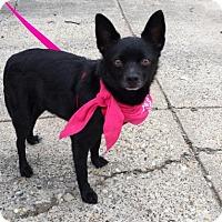 Adopt A Pet :: Minnie Mae Schipperke - Dallas, TX