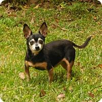 Adopt A Pet :: Dolly's Delta Dawn - Ormond Beach, FL