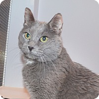 Domestic Shorthair Cat for adoption in Lincoln, Nebraska - Shadow