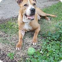 Adopt A Pet :: BRUNO - CHICAGO, IL