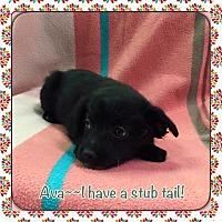 Adopt A Pet :: Ava - Harmony, Glocester, RI