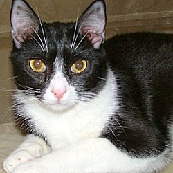 Photo 1 - Domestic Shorthair Cat for adoption in Chattanooga, Tennessee - Ariel