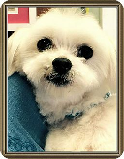 maltese rescue san diego buck adopted dog san diego ca maltese 5400