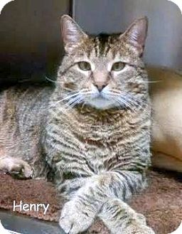 Domestic Shorthair Cat for adoption in Cliffside Park, New Jersey - HENRY