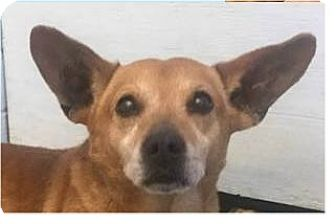 Corgi/Terrier (Unknown Type, Small) Mix Dog for adoption in Springdale, Arkansas - Norbert