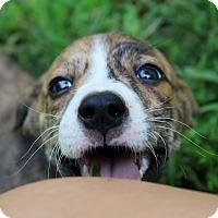 Adopt A Pet :: Bosley~meet me! - Glastonbury, CT