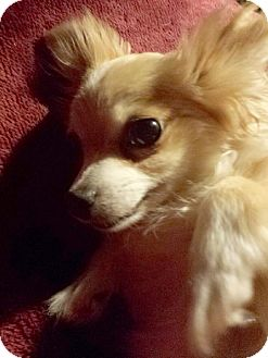 Chihuahua Dog for adoption in Porter Ranch, California - Angel Love