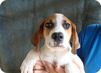 Treeing Walker Coonhound/Labrador Retriever Mix Puppy for adoption in Oviedo, Florida - Arrow