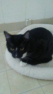 Domestic Shorthair Kitten for adoption in Elk Grove, California - Howie (Heidi's kid)