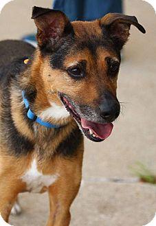 German Shepherd Dog Mix Dog for adoption in Lafayette, Indiana - Cash