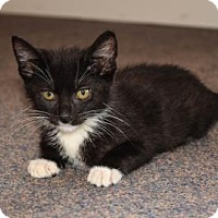 Adopt A Pet :: Geppetto - Wichita, KS