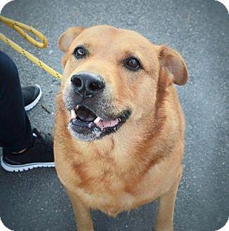 Labrador Retriever/Golden Retriever Mix Dog for adoption in Wilmington, North Carolina - Fred