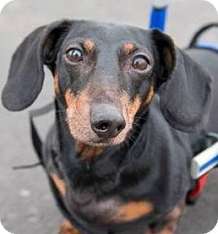 Dachshund Dog for adoption in St. Cloud, Minnesota - Harry