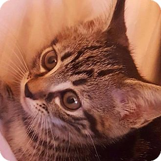 Domestic Shorthair Kitten for adoption in New York, New York - Angelique