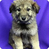Adopt A Pet :: LYANNA - Westminster, CO