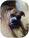 Boxer Dog for adoption in Sunderland, Massachusetts - Morris Bertram