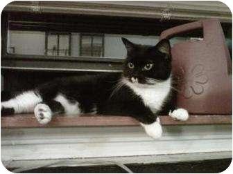 Bombay Cat for adoption in New York, New York - Kit Kat