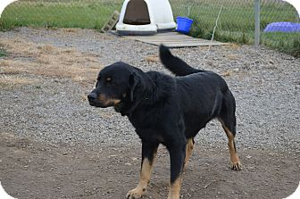 Rottweiler Mix Dog for adoption in New Cumberland, West Virginia - Abrazo