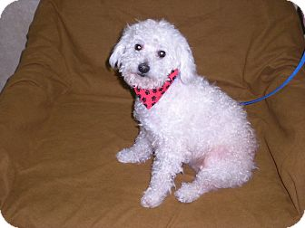"Poodle (Miniature) Dog for adoption in New Castle, Pennsylvania - "" Pepe """