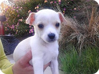 Chihuahua Puppy for adoption in San Diego, California - CHLOE. 2 lbs!