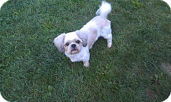 Shih Tzu/Lhasa Apso Mix Dog for adoption in New Windsor, New York - COCOA