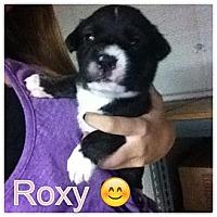 Adopt A Pet :: ROXY - Torrance, CA