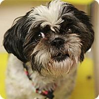 Adopt A Pet :: Lulu - Canoga Park, CA